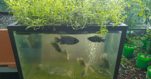 Aquaponics Tank With Fish