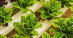 Fresh Lettuce Hydroponic Content