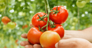 Healthy Hydroponic Tomatoes