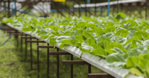 Hydroponics Growing vegetables without soil