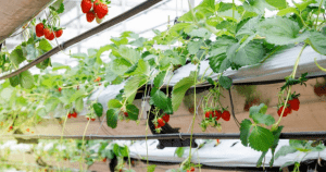 Hydroponics strawberries at a hydroponics farm