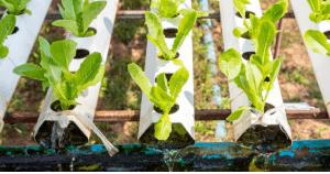 Lettuce in a hydroponic garden