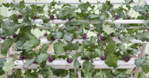 Purple kohlrabi planting hydroponics