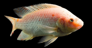 Red Tilapia Fish