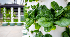 Vertical Growing Tower of hydroponic leafy green vegetables