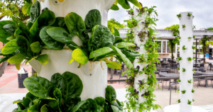 Vertical hydroponic Growing Towers with leafy green vegetables