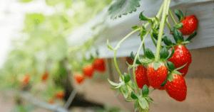 hydroponics strawberries