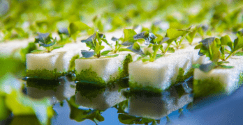 hydroponics vegetables growing on water